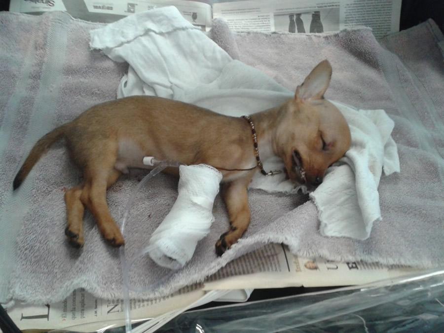caso clinico fractura de la boveda craneal  trauma craneoencefalico clinica veterinaria del